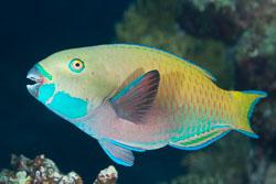 BD-131207-Marsa-Alam-0869-Chlorurus-gibbus-(Rüppell.-1829)-[Heavybeak-parrotfish].jpg